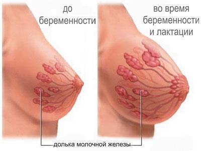 Внутреннее строение молочной железы до и во время беременности и при лактации