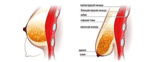 Строение женской груди до и после лактации