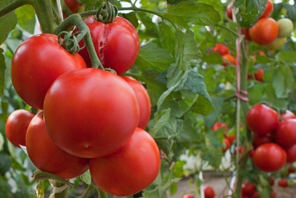 помидоры растут