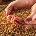 ячмень зерна