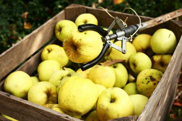 Свежесобранные яблоки в ящике