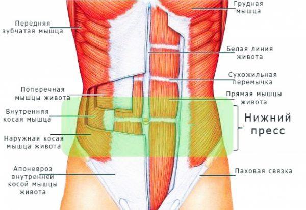 Срединная линия и мыщцы на животе у человека
