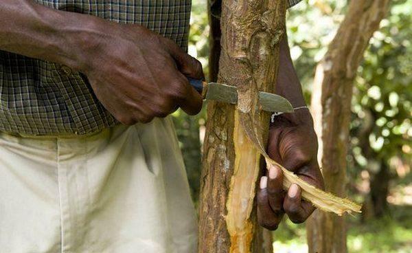 Срезание коры с коричного дерева