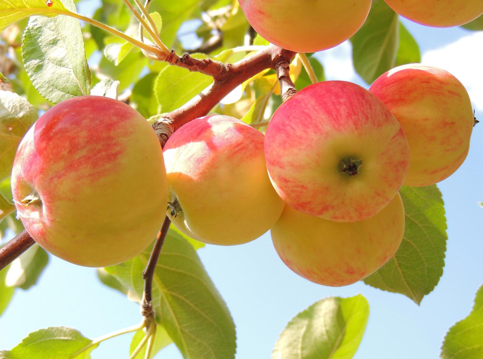 Яблоки в рационе кормящей мамы: как, когда и сколько
