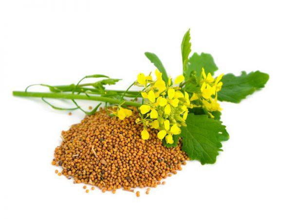 Веточка растения горчицы и её семена
