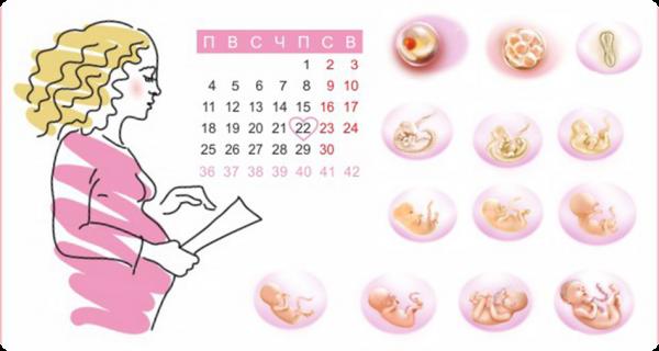 Срок беременности и стадии внутриутробного развития ребёнка