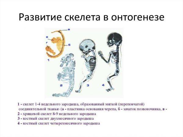 Развитие скелета в онтогенезе